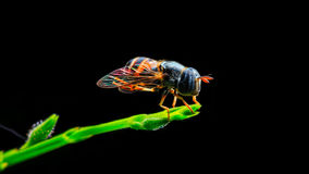 Hover fly on green plant. On black background Royalty Free Stock Photos