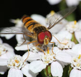 Hover fly head onwhite wildflowers Royalty Free Stock Photos