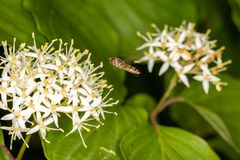 Hover fly in flight. A hover fly heading to a bunch of white flowers stock images