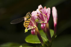 Hover-fly on honeysuckle flower. A hover-fly visits a honeysuckle flower to collect pollen royalty free stock photo
