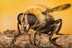 Hover-fly, Hoverfly, Fly, Flies. Macro Focus Stacking - Hover-fly, Hoverfly, Fly, Flies royalty free stock photos