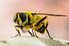 Hover-fly, Hoverfly, Fly, Flies royalty free stock photo