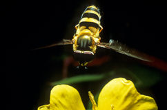 Hover fly hovering Royalty Free Stock Photo