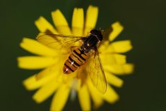 Hover Fly, Insect, Close, Animal Royalty Free Stock Image
