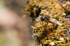 Hover fly insect Royalty Free Stock Photo