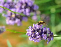 Hover fly on lavender Stock Photography