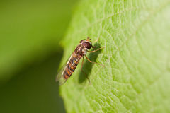Hover fly Royalty Free Stock Image