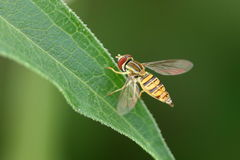 Hover Fly on Leaf Royalty Free Stock Photo