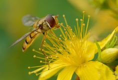 Hover fly macro Stock Image