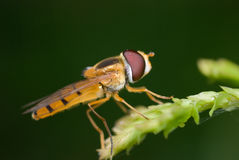 Hover-fly macro Royalty Free Stock Image