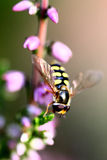 Hover fly macro Royalty Free Stock Image
