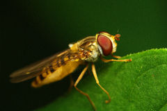 Hover fly Royalty Free Stock Photography