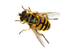 Hover fly Myathropa florea Stock Photos