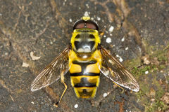 Hover fly Myathropa florea (Syrphidae). Close-up Royalty Free Stock Photos