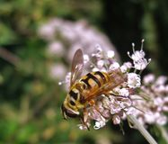 Hover fly on pastel flower Stock Photos
