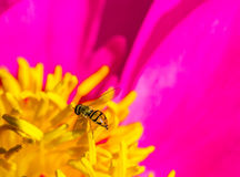 Hover Fly on Peony Royalty Free Stock Image