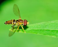 Hover-fly Stock Photography