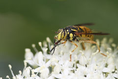 Hover Fly Pollinatiing a Round-leaved Dogwood stock photo