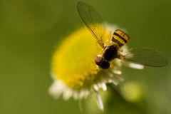 Hover Fly Pollinating. Image of a Hover Fly, also knows as a Syrphid Fly, pollinating a flower Stock Images