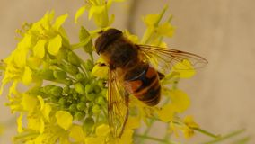 Hover fly| Pollination royalty free stock photo