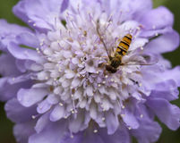 Hover Fly on Scabiosa Stock Photo
