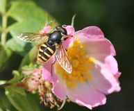 Hover fly (Sericomyia silentis) on a Dog Rose (Rosa canina) Stock Photo