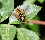 Hover fly (Sericomyia silentis) on a leaf Stock Images