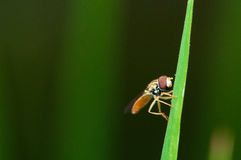 Hover fly on some grass.  Stock Photo