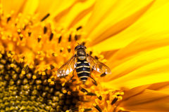 Hover Fly on a Sunflower royalty free stock photography