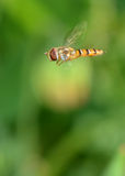 Hover Fly (Syrphus ribesii) Royalty Free Stock Photography