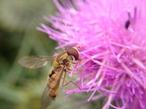 Hover fly on a thistle Stock Photo