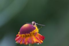 Hover fly watching Stock Photo