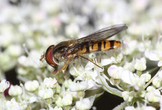 Hover fly white wildflowers Royalty Free Stock Images