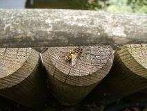 Hover Fly. On wooden post near water stock photos