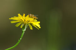 Hover fly on yellow flower Royalty Free Stock Image