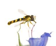 Hoverflies stock afbeeldingen