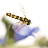 Hoverflies Fotografía de archivo
