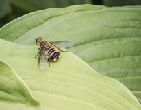 Hoverflies Stock Afbeelding