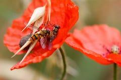 Hoverflies auf Wolfmohnblume lizenzfreies stockbild