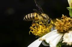 Hoverflies es de cernido o que chupa el néctar Fotografía de archivo libre de regalías