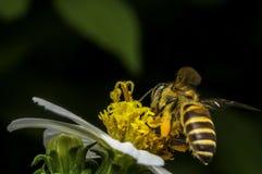 Hoverflies es de cernido o que chupa el néctar Fotos de archivo libres de regalías