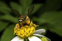Hoverflies es de cernido o que chupa el néctar Foto de archivo