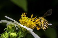 Hoverflies es de cernido o que chupa el néctar Fotografía de archivo