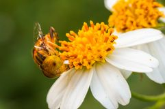 Hoverflies es de cernido o que chupa el néctar en las flores Foto de archivo