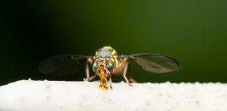 Hoverflies Macro Royalty Free Stock Photography