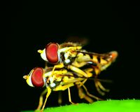 Hoverflies Mating Stock Photo