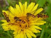 Hoverflies na dandelion Zdjęcia Stock