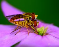 Hoverflies Royalty Free Stock Photos