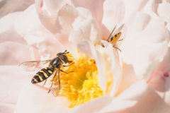 Hoverflies on Pink Rose stock photos