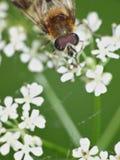 Hoverflies sui fiori - Regno Unito immagine stock